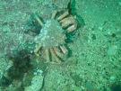 Araignée de mer_Maja brachydactyla