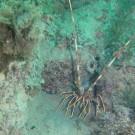 Araignée de mer_Palinurus elephas