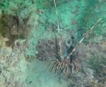 Araignée de mer_Palinuruselephas