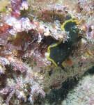 Doris marbrée_Dendrodoris limbata et anémone brune_Epizoanthus couchii