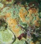 Eponge cratère_Hemimycale columella