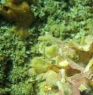 Nudibranche Crimora papillata sur des flustres