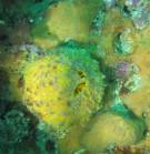 Orange de mer_Tethya citrina