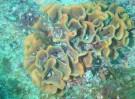 Rose de mer_Pentapora fascialis